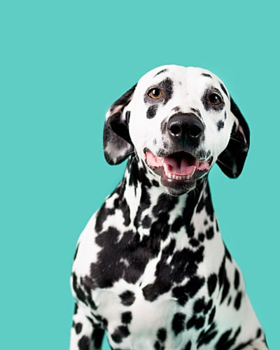 "A Dalmatian dog looking at the camera as if to say ""I've been a good dog and would really like some gourmet pet treats from Mika & Sammy's"""