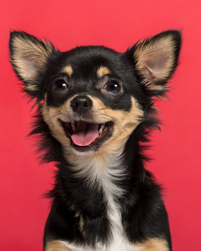 Cute puppy looking happy with a red background